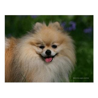 Cartão Postal Sorriso de Pomeranian