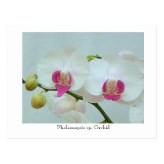Cartão Postal Sp do Phalaenopsis. Orquídea