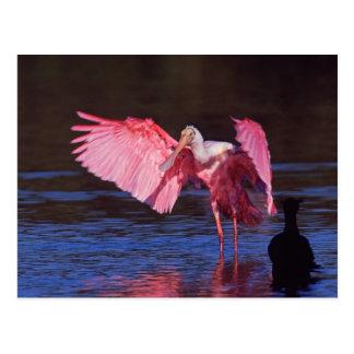 Cartão Postal Spoonbill róseo (ajaja do Ajaia) com Cormorant
