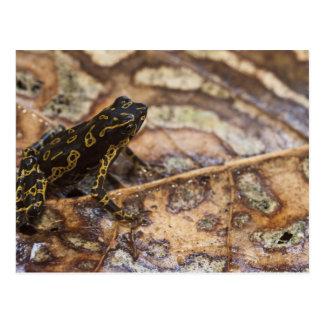 Cartão Postal Spumarius de Atelopus do sapo de Pebas Stubfoot)