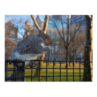 Cartão Postal Sr. Esquilo Comer Um Noz, parque de bateria, NYC