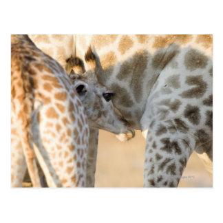 Cartão Postal Suckling da vitela do girafa (camelopardalis do