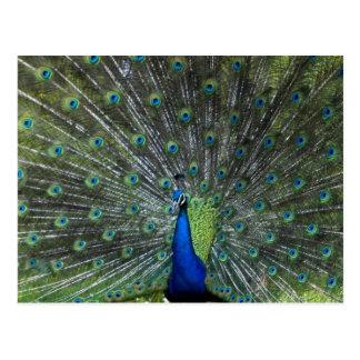 Cartão Postal Suportar do pavão