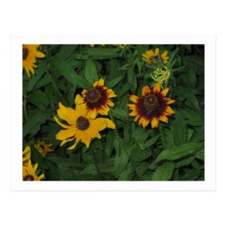 Cartão Postal Susans de olhos pretos em jardins de Longwood, PA