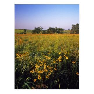 Cartão Postal Susans de olhos pretos na pradaria dos tallgrass