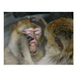 Cartão Postal Sylvanus do Macaca