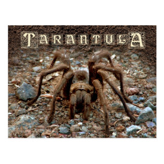 Cartão Postal Tarantula