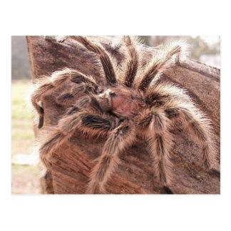 Cartão Postal Tarantula cor-de-rosa do cabelo