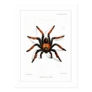 Cartão Postal Tarantula vermelho mexicano do pé