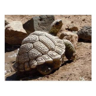 Cartão Postal Tartaruga de deserto - sudoeste americano