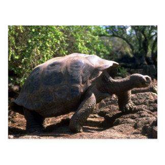 Cartão Postal Tartaruga gigante de Galápagos (tipo Abóbada-Dado