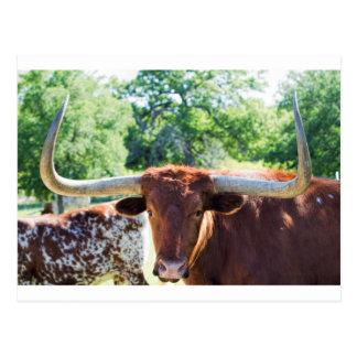 Cartão Postal Texas magnífico Longhorn Bull