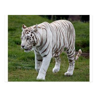 Cartão Postal Tigre branco
