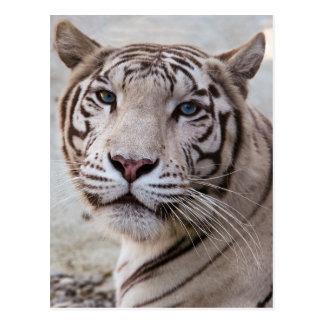 Cartão Postal Tigre de Bengal branco
