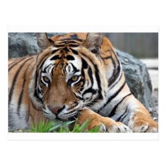 Cartão Postal Tigre de Bengal na grama
