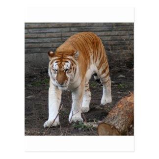 Cartão Postal Tigre dourado 1 do gato malhado