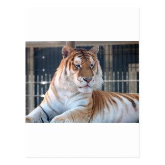 Cartão Postal Tigre dourado do gato malhado no jardim zoológico
