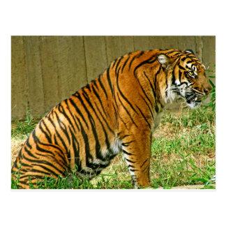 Cartão Postal Tigre feroz