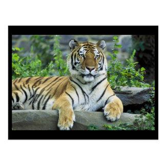 Cartão Postal Tigre, Siberian