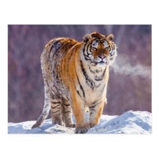 Cartão Postal Tigre Siberian na neve, China