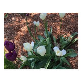 Cartão Postal Tipo branco flores da tulipa da neve em um jardim