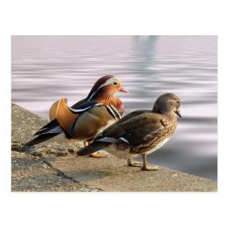 Cartão Postal Togertherness dos patos de mandarino