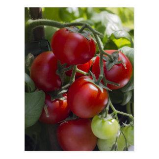 Cartão Postal tomates no jardim