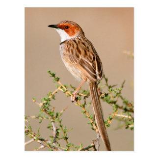 Cartão Postal Toutinegra Rufous-Orelhuda (Pectoralis de