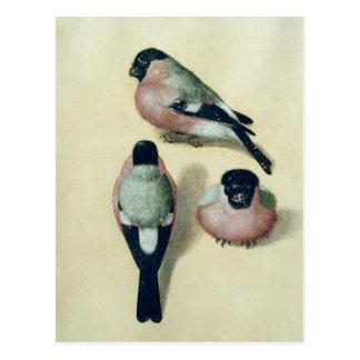 Cartão Postal Três estudos de um bullfinch