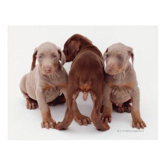 Cartão Postal Três filhotes de cachorro do pinscher do Doberman