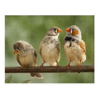Cartão Postal Três passarinhos em um galho