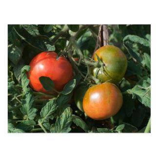 Cartão Postal Três tomates