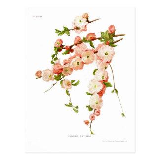Cartão Postal Triloba do Prunus (amêndoa de florescência)