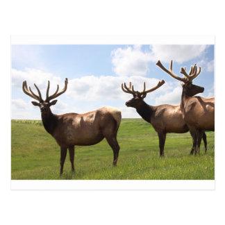 Cartão Postal Trio dos alces de Bull do canadense