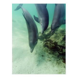 Cartão Postal Truncatus) do Tursiops dos golfinhos de Bottlenose