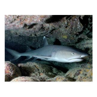 Cartão Postal Tubarão de Silvertip