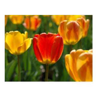 Cartão Postal Tulipas amarelas, tulipas alaranjadas