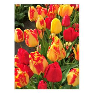 Cartão Postal Tulipas amarelas & vermelhas