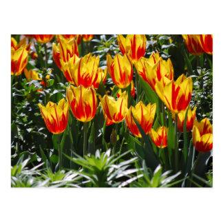 Cartão Postal tulipas da chama