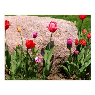Cartão Postal Tulipas de florescência