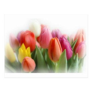 Cartão Postal tulipas multicoloridos