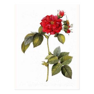 Cartão Postal Turbinata de Rosa