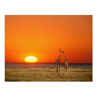 Cartão Postal Um casal do girafa anda no por do sol, dentro