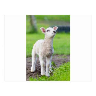 Cartão Postal Um cordeiro recém-nascido branco que está na grama