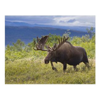 Cartão Postal Um grande alce do touro está entre salgueiros