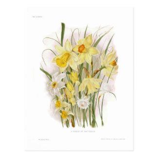 Cartão Postal Um grupo de Daffodils
