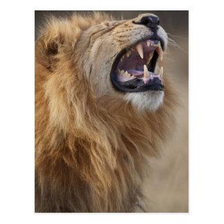 Cartão Postal Um leão masculino maduro (Panthera leo) no Savuti