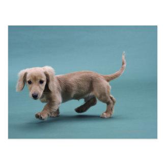 Cartão Postal Um passeio pequeno bege do dachshund