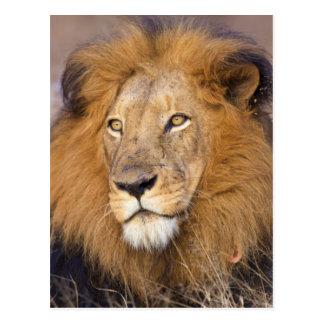 Cartão Postal Um retrato de um leão que olha na distância