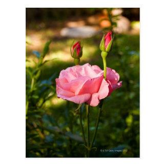 Cartão Postal Um rosa cor-de-rosa e dois rosebuds